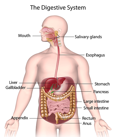 The Gastric Phase of Digestion