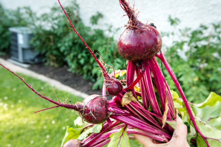 Beet Roots and Tops